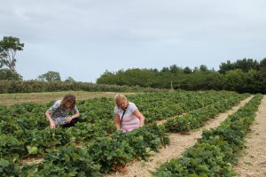 Two adults both female picking strawberry