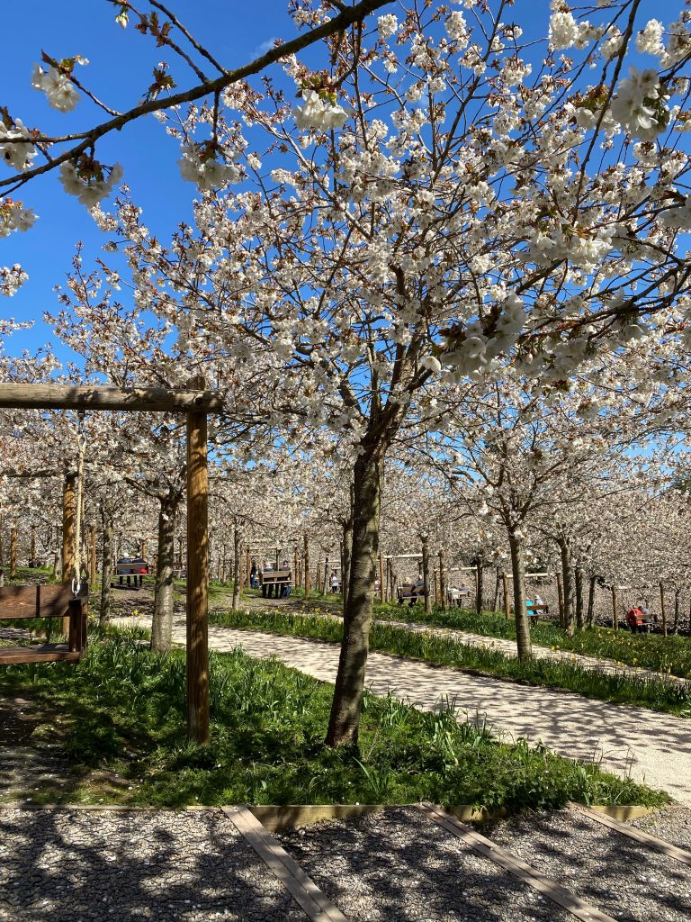 The Alnwick Garden Cherry Blossom orchard