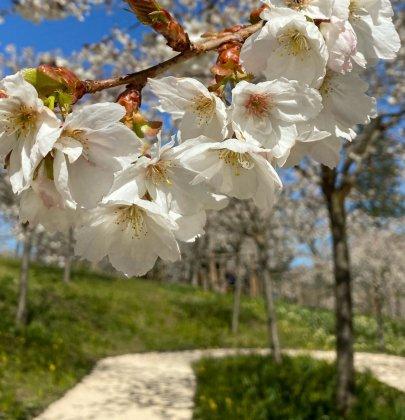 Alnwick Garden Cherry Blossom In Bloom