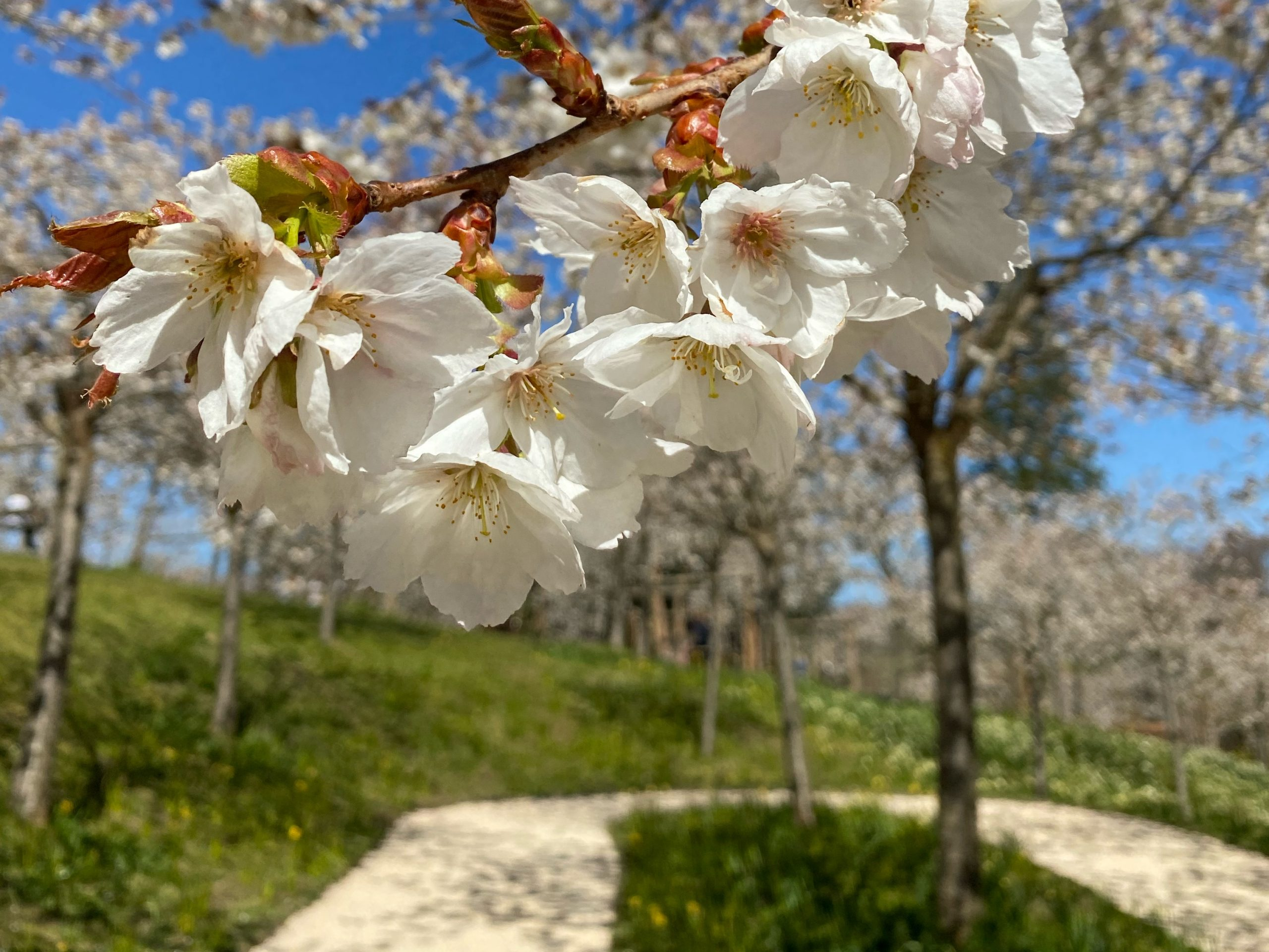 Cherry Blossom at Alnwick Garden in Spring, Northumberland